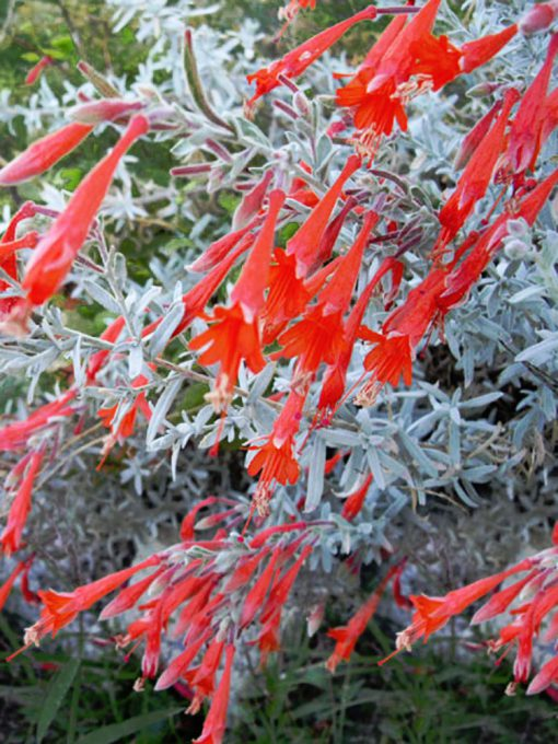Zauschneria canum 'Silver Select'
