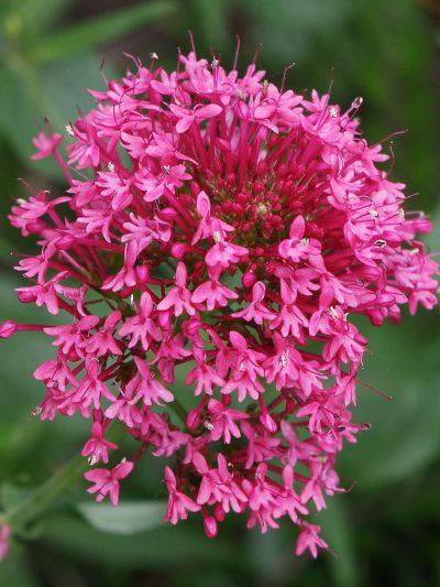 Centranthus ruber var. coccineus 'Rosenrot'