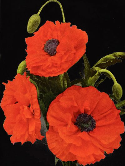 Papaver orientale plena 'May Queen'