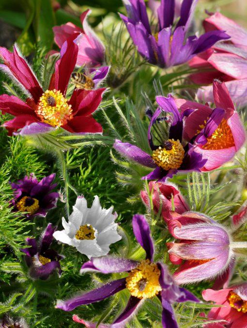 Pulsatilla vulgaris (Mixed colours)