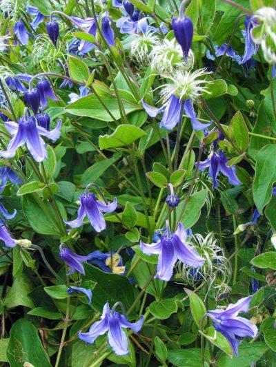 Clematis integrifolia BUSH CLEMATIS