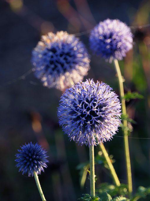 Echinops ritro BLUE GLOBE FLOWERS