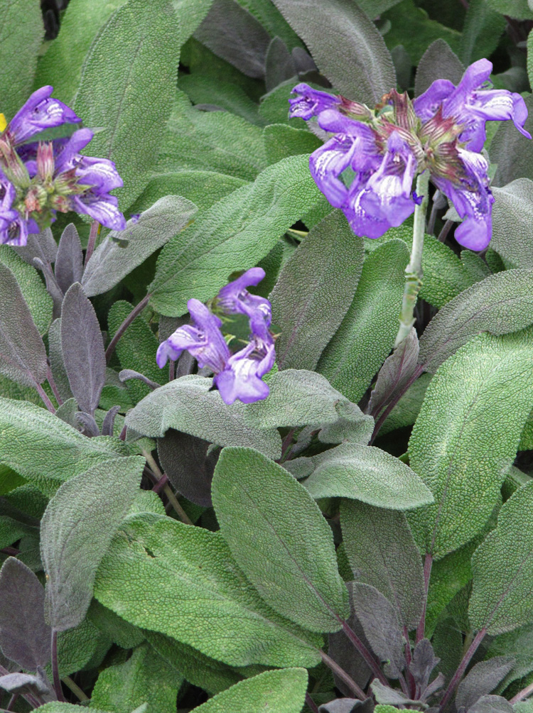 Salvia officinalis KITCHEN SAGE - Country Farm Perennials